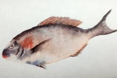 Série poissons 2 Aquarelle 18x24