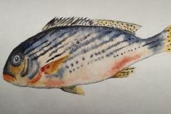 Série poissons du vendredi Aquarelle 18x24